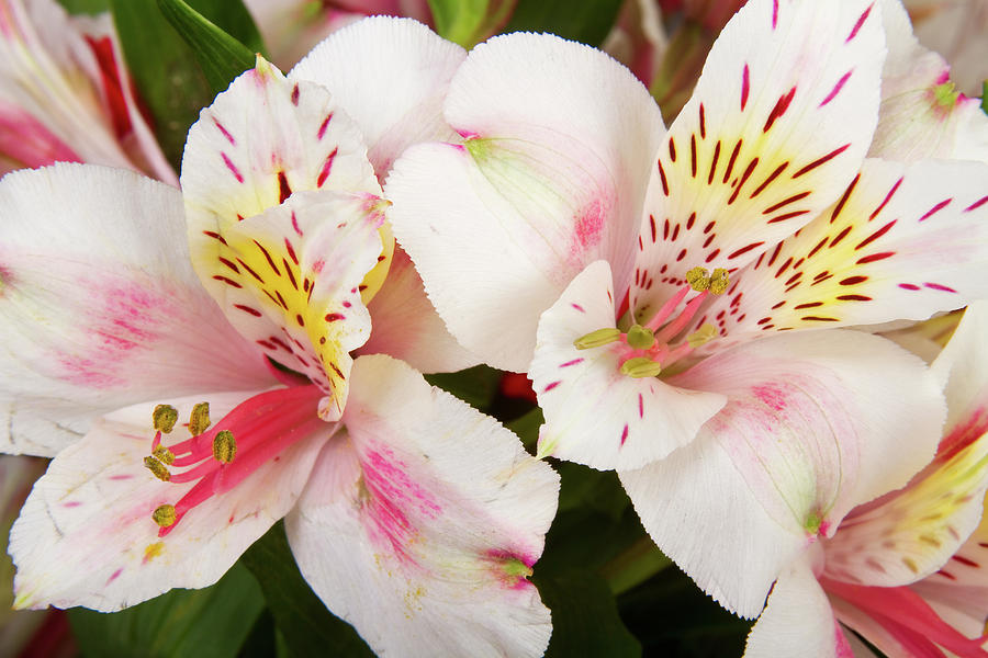 Peruvian Lilies  Flowers White And Pink Color Print Photograph  - Peruvian Lilies  Flowers White And Pink Color Print Fine Art Print