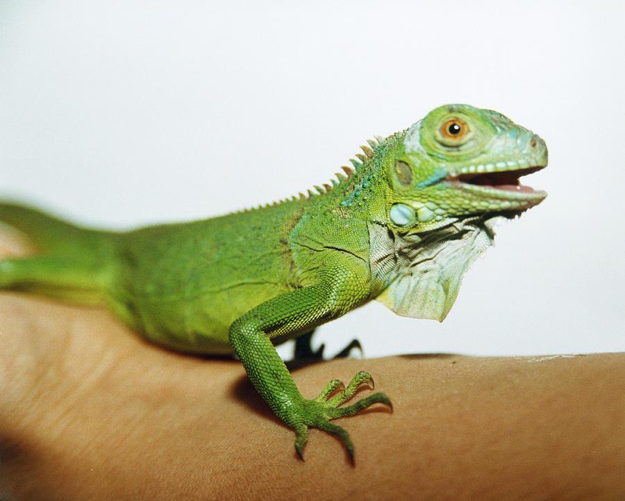 Common Iguana Photograph - Pet Iguana by Cristina Pedrazzini