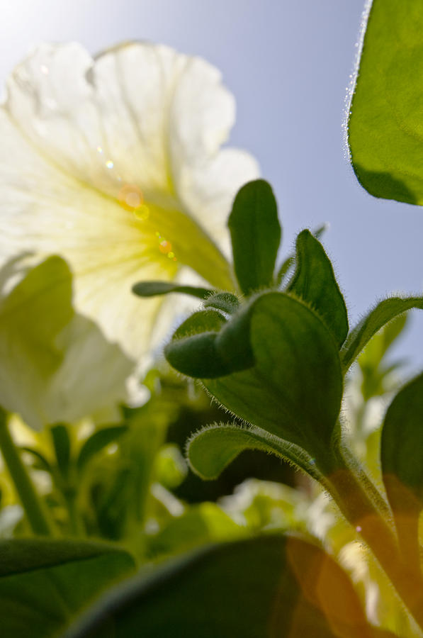 Petunia And Sunflare Photograph