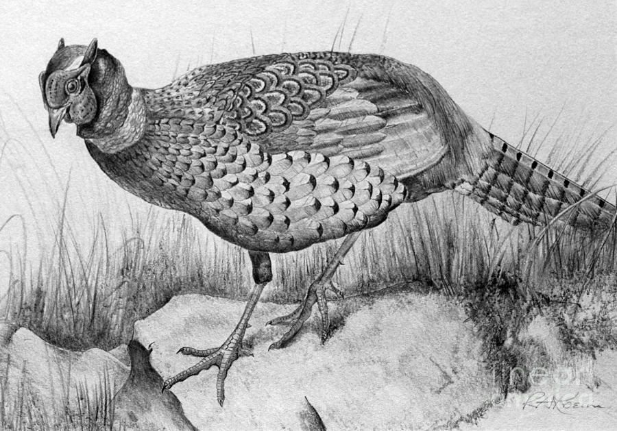 Pheasant In The Wild Drawing
