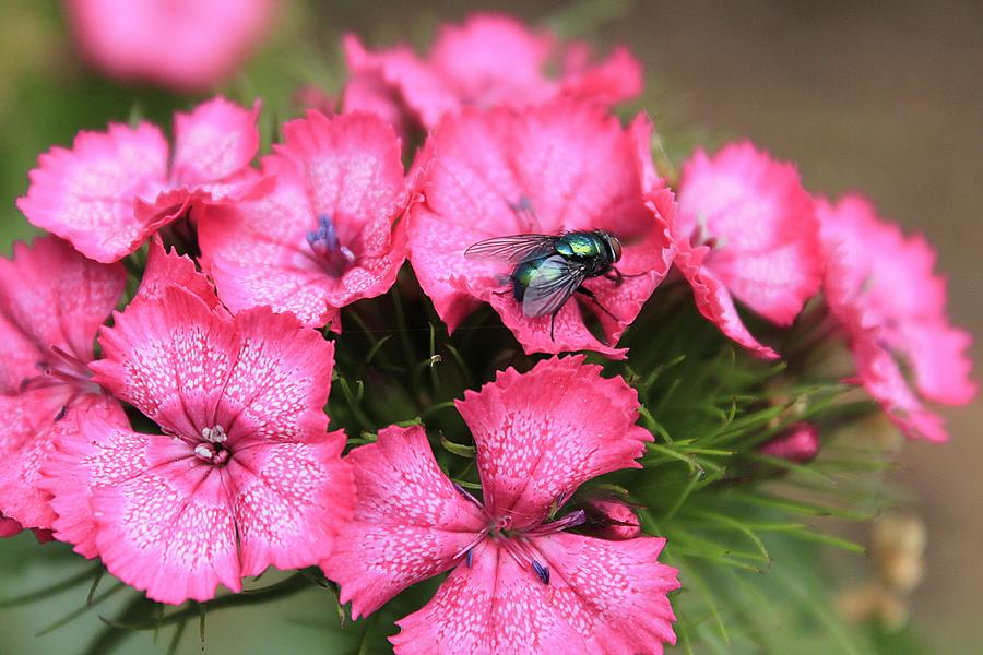 Phlox And Fly Photograph