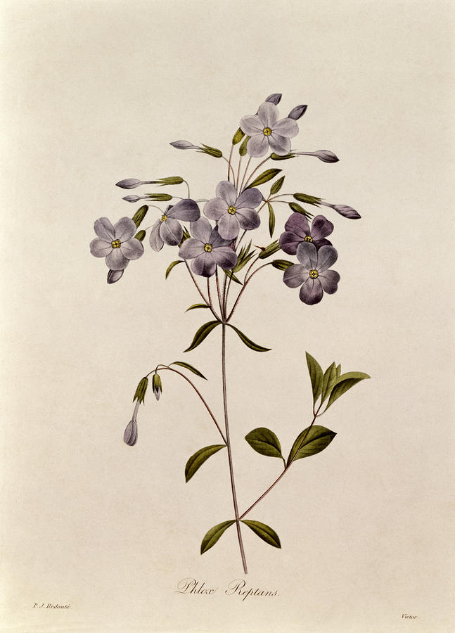 Phlox Reptans Drawing