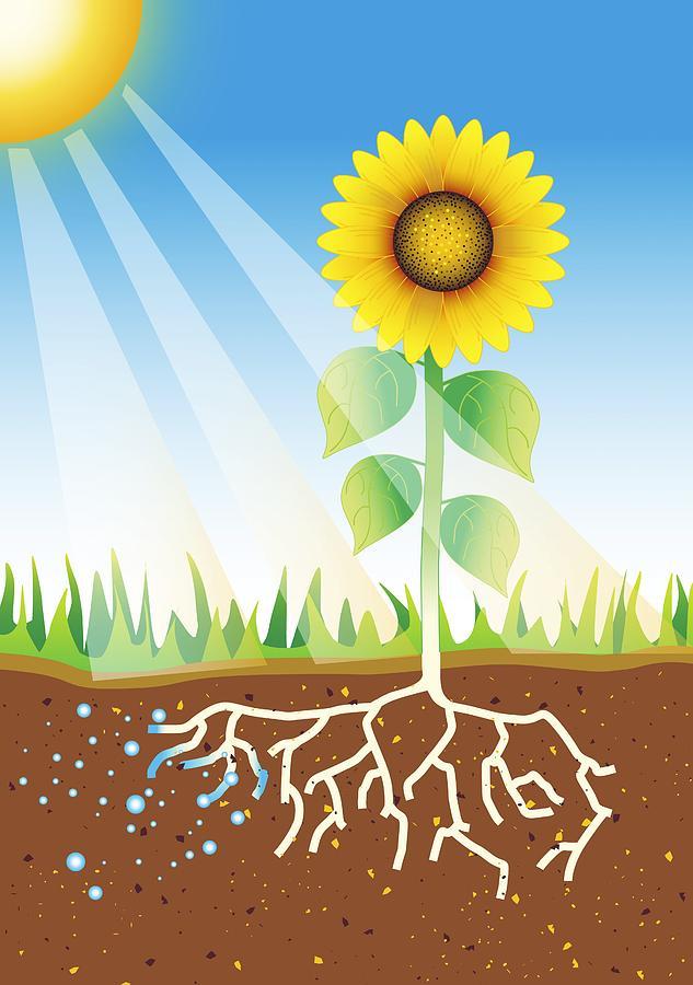 Photosynthesis, Artwork Photograph