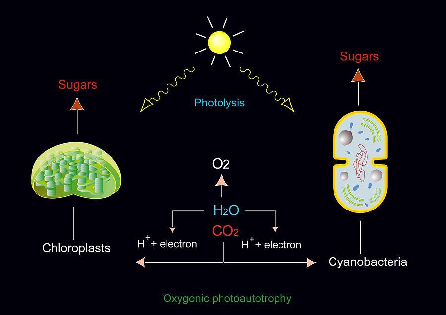 Chloroplast Photograph - Photosynthesis, Artwork by Francis Leroy, Biocosmos