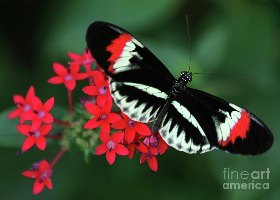 Piano Key Butterfly Photograph