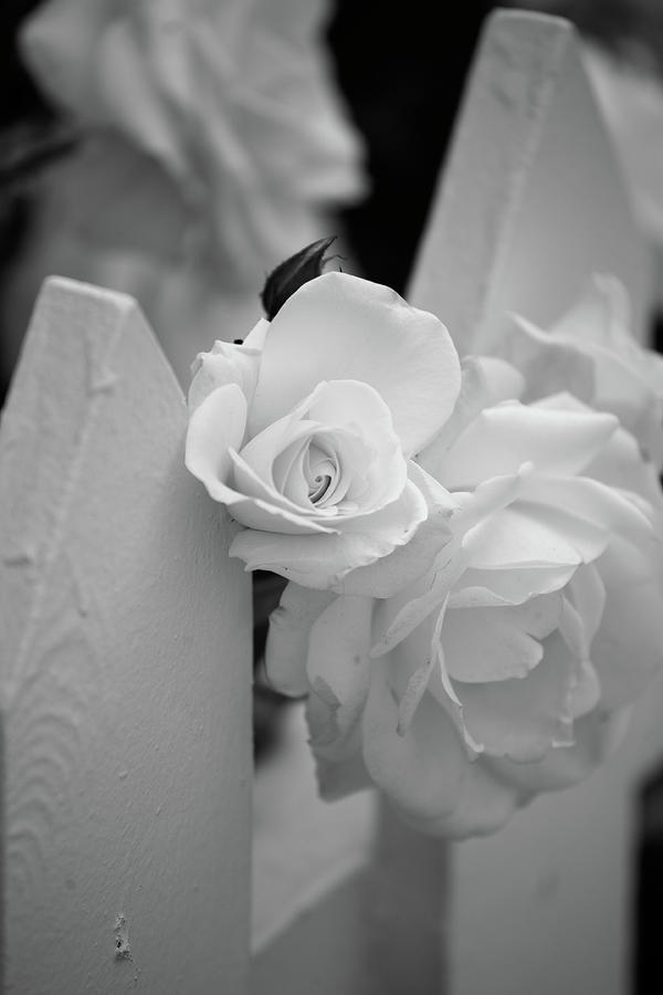 Picket Rose Photograph