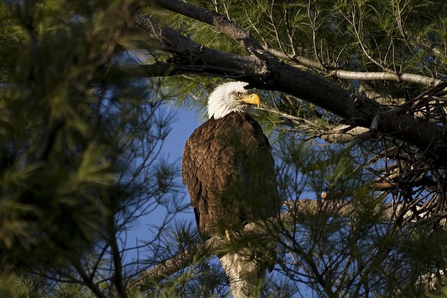 Bald Eagle Photograph - Picture Perfect Bald Eagle by Joe Gee