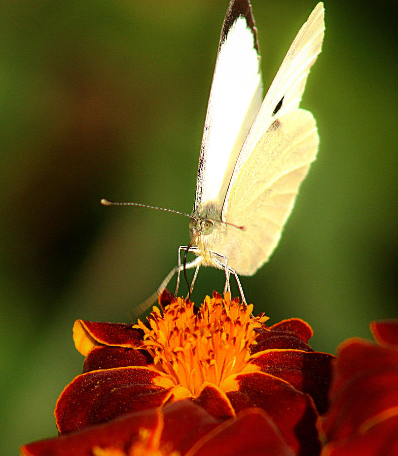 Pieris Brassicae Photograph  - Pieris Brassicae Fine Art Print