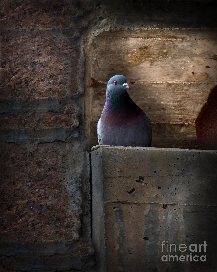 Pigeon Of The City Photograph  - Pigeon Of The City Fine Art Print
