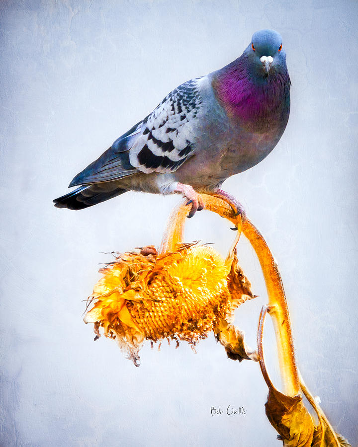 Pigeon On Sunflower Photograph
