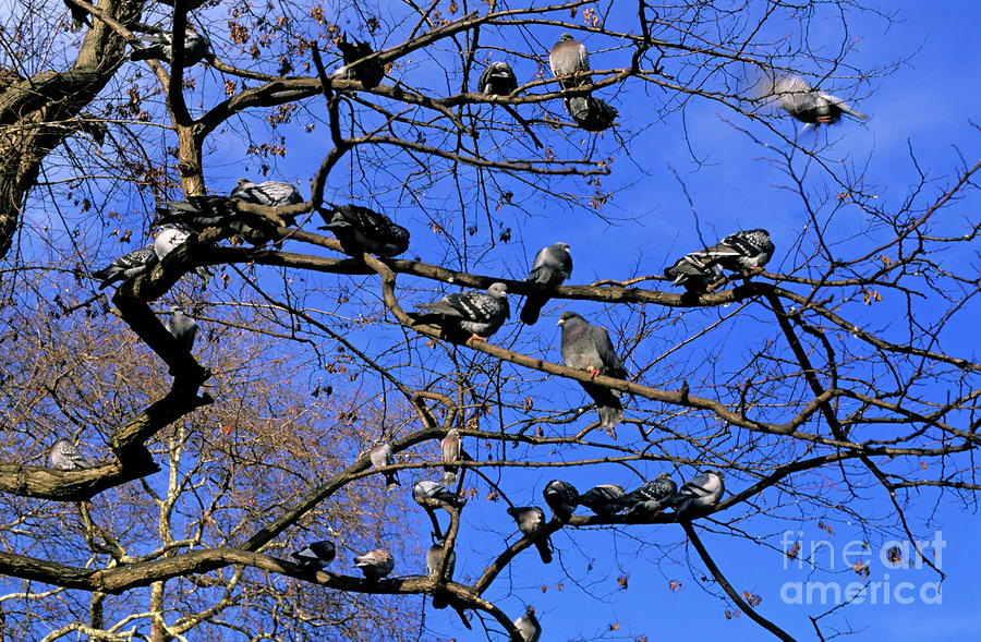 Pigeons Perching In A Tree Together Photograph