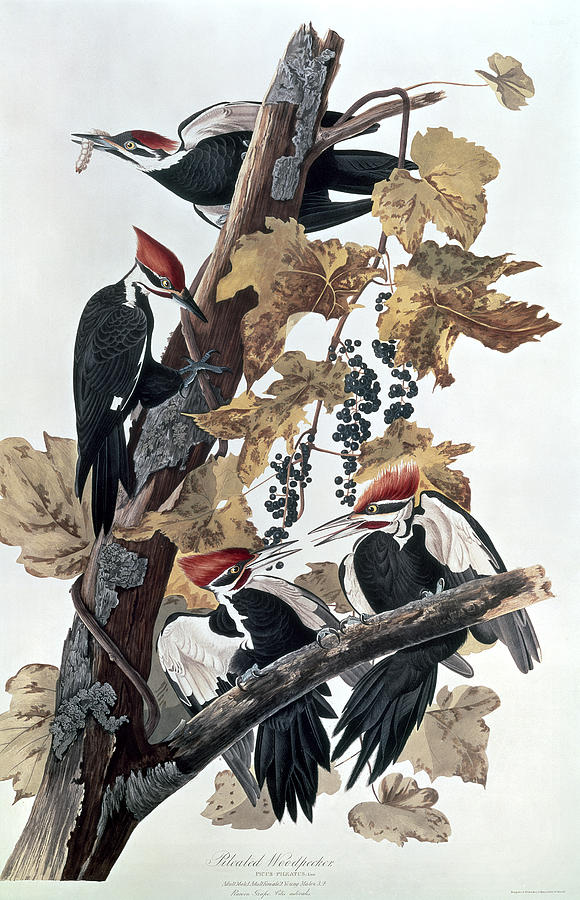 Pileated Woodpeckers Painting