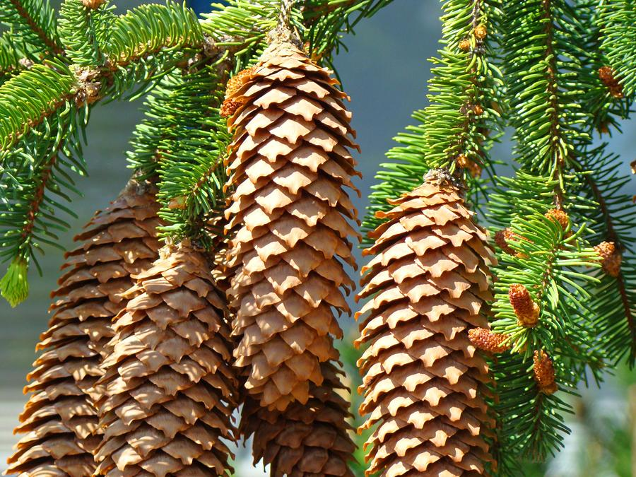 Pine cone tree related keywords amp suggestions pine cone tree long