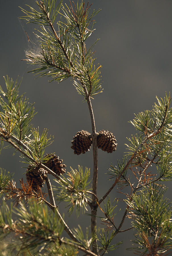 Pine Cones At The Top Of A Small Pine Photograph