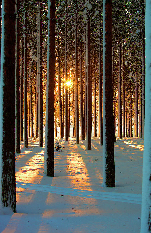 Pine Forest Photograph