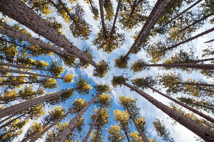 Pine Tree Vertigo Photograph