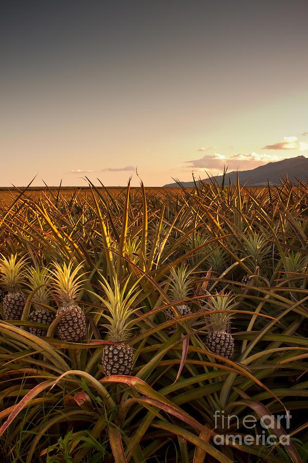 Pineapple Field Of Waialua Photograph