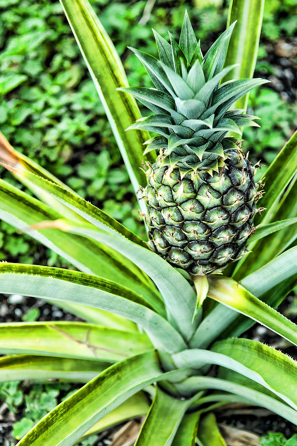 Pineapple Photograph - Pineapple Plant by Frank Feliciano