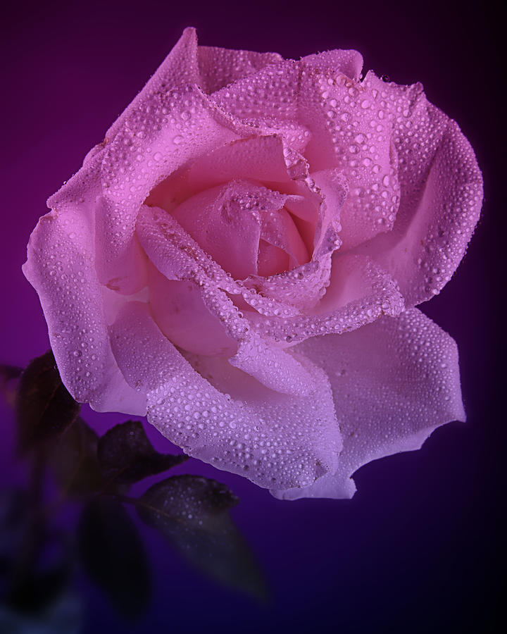 Pink And Blue Rose In The Rain Photograph