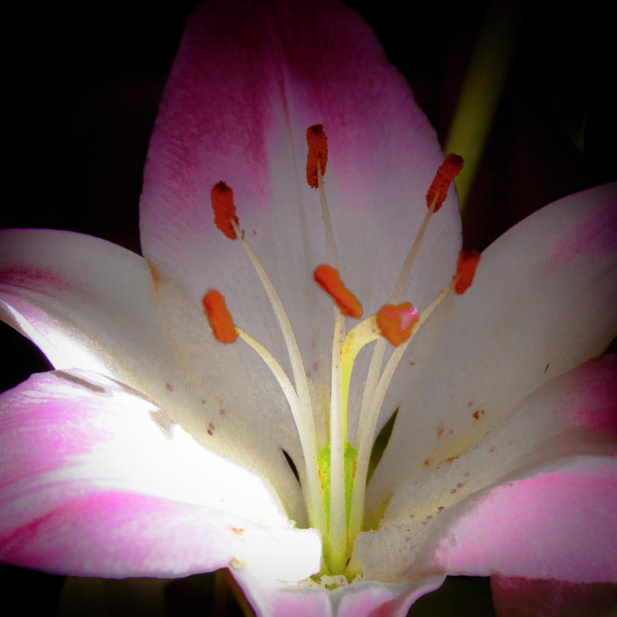 Pink And White Lily Photograph  - Pink And White Lily Fine Art Print