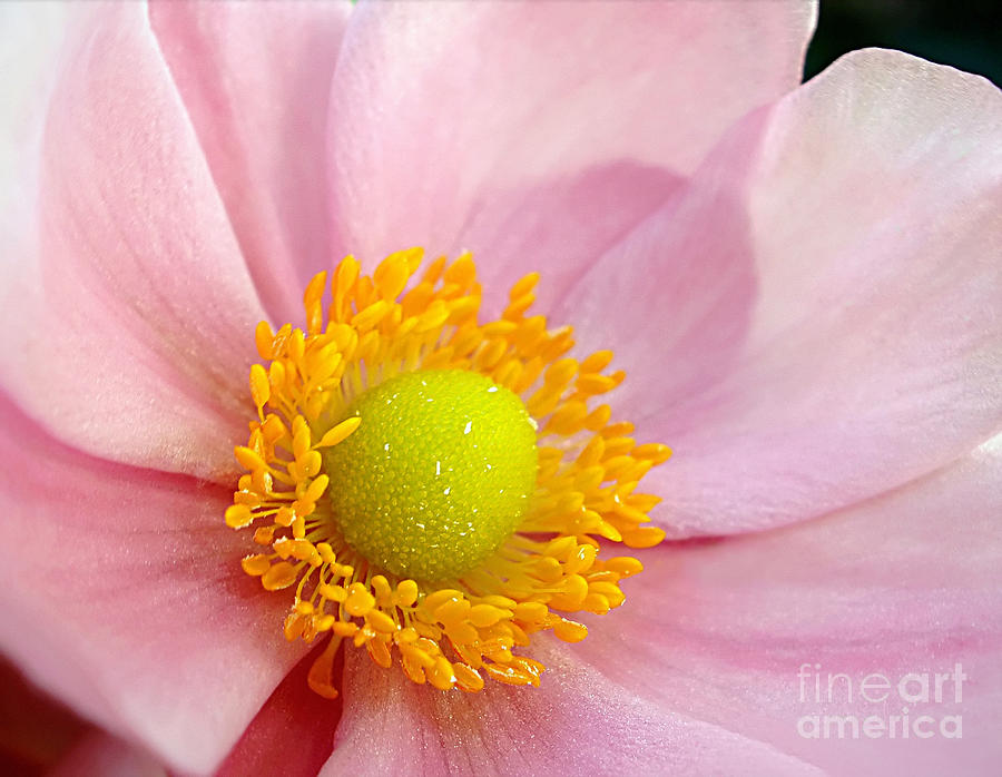 Pink Anemone Photograph