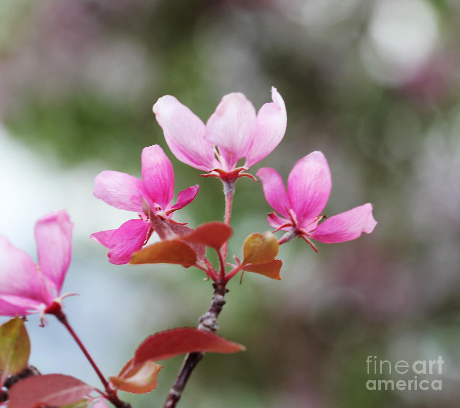 Pink Apple Blossom 2 Photograph  - Pink Apple Blossom 2 Fine Art Print