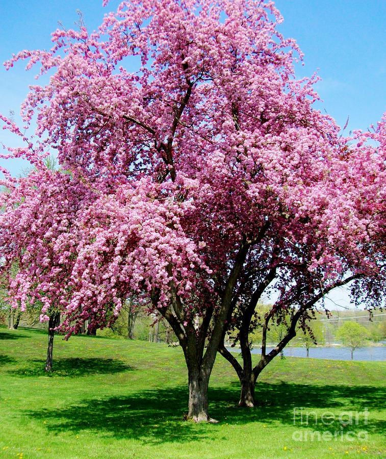 blossom park tree pink - photo #7
