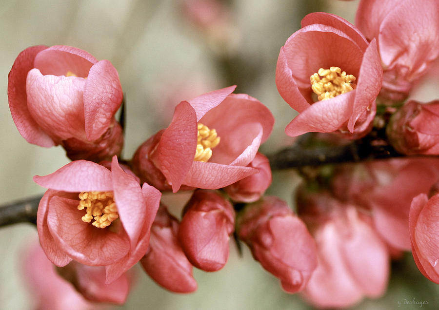 Pink Blossom Photograph