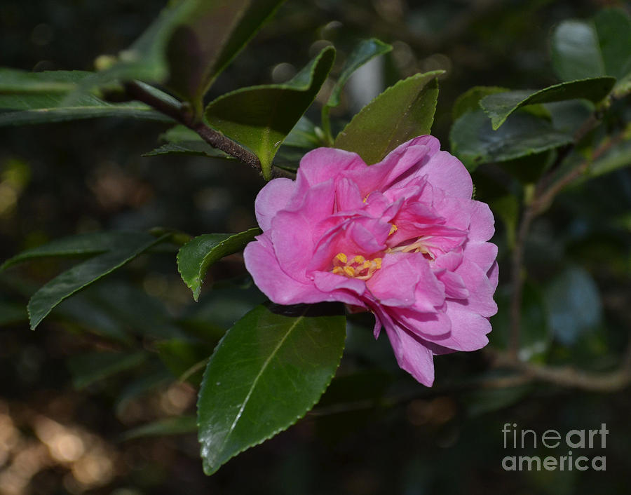 Pink Camellia Flower Photograph