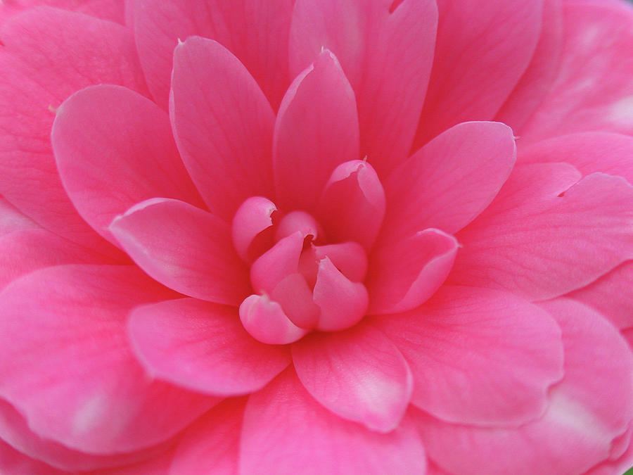 Pink Camellia Photograph