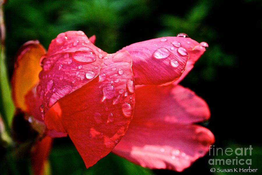 Pink Canna Lily Photograph