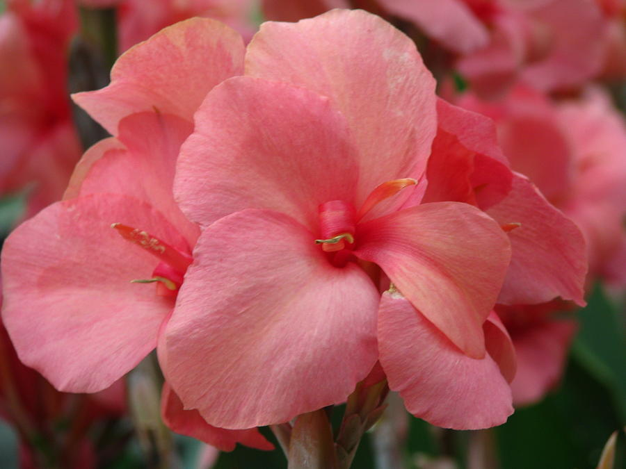 Flower Photograph - Pink Canna by Paul Slebodnick