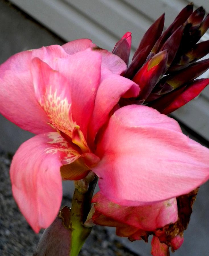 Pink Canna Photograph