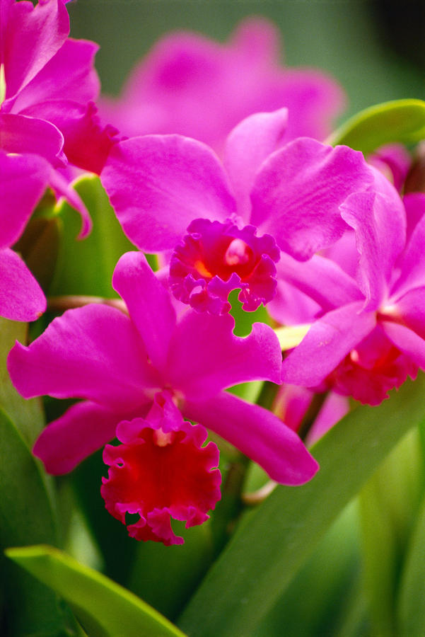 Pink Cattleya Orchids Photograph