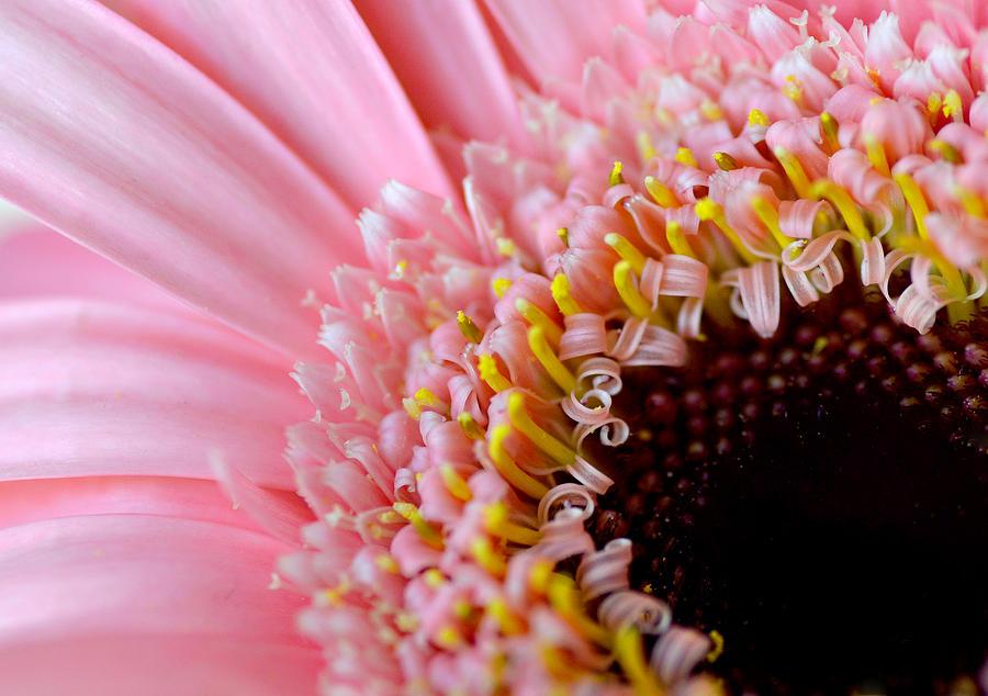 Macro Photograph - Pink Celebration by Julie Palencia