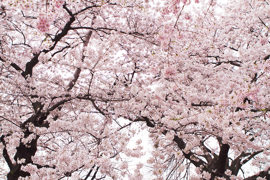 Pink Cherry Blossom Tree Photograph