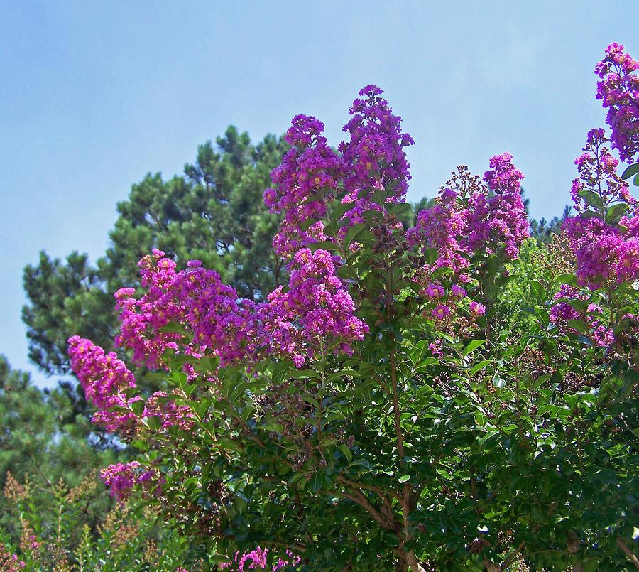 Pink Crape Myrtle Photograph