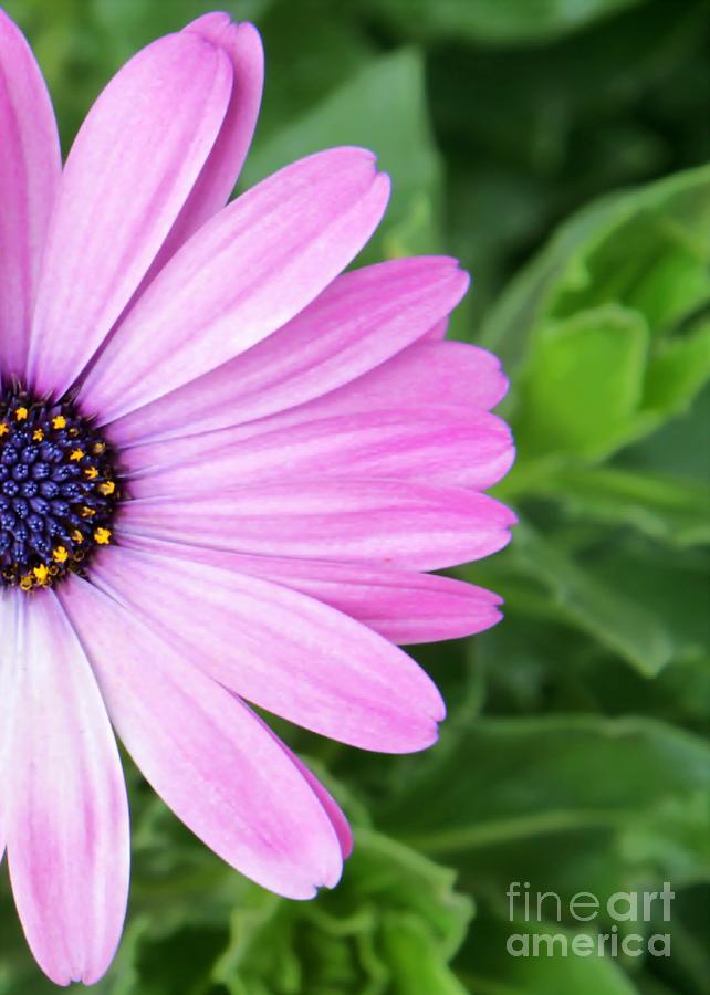 Pink Daisy Photograph