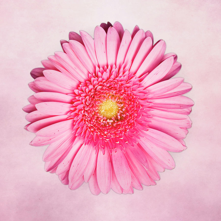 Pink Photograph - Pink Delight by Tamyra Ayles