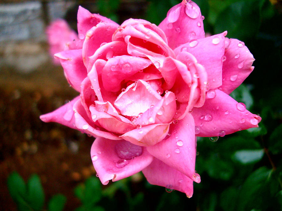 Pink Double Knockout Rose Photograph