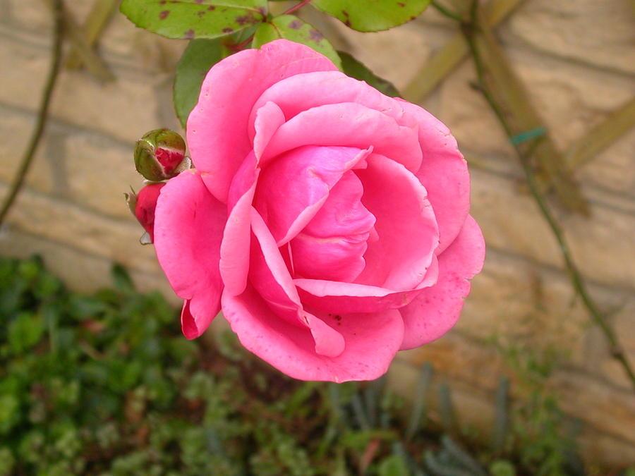 pink englisch