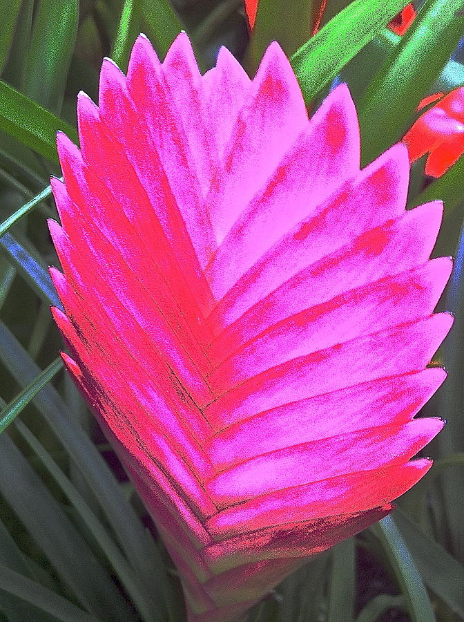 Pink Fan Photograph  - Pink Fan Fine Art Print