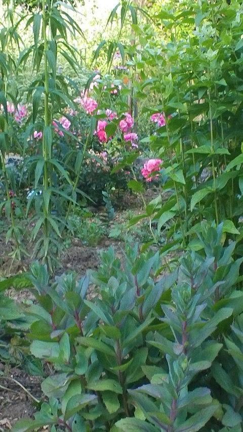 Pink Garden Flowers  Photograph - Pink Garden Flowers by Thelma Harcum