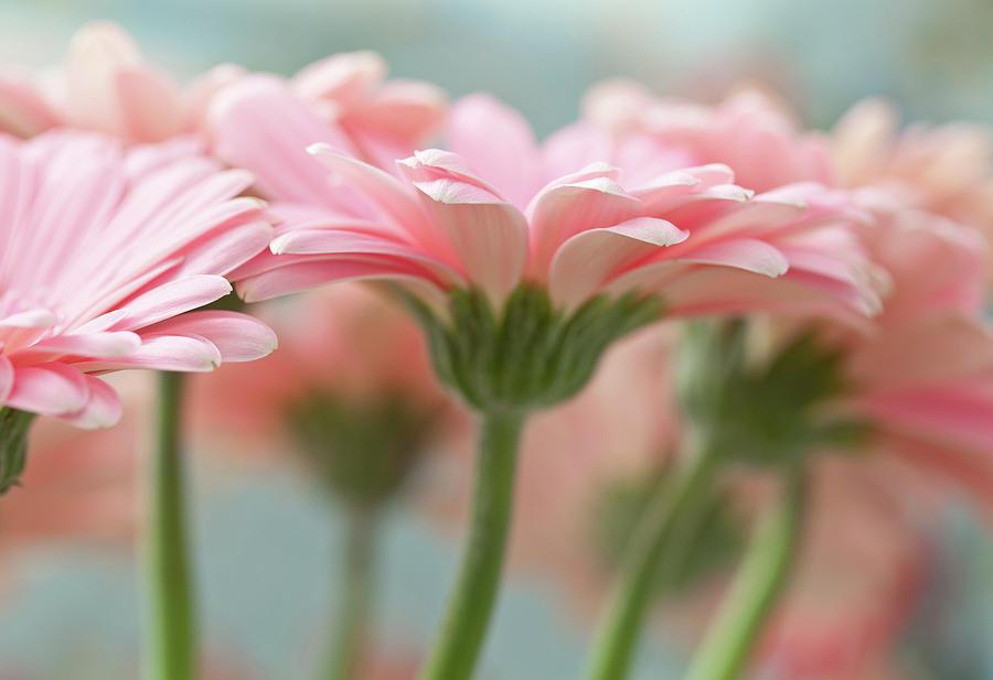 Horizontal Photograph - Pink Gerbera Daisies by Mary Smyth