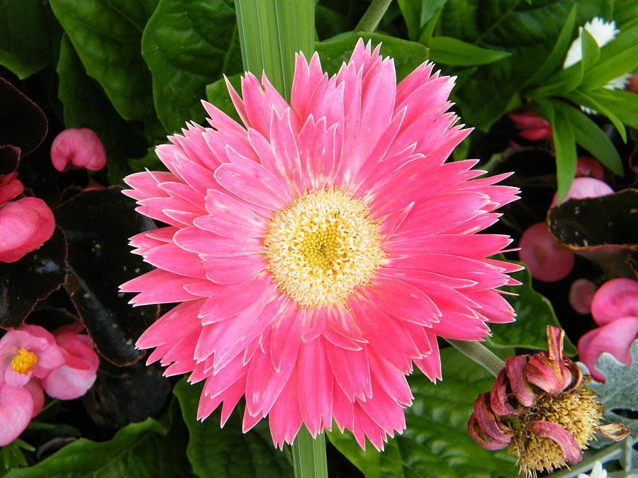 Pink Gerbera Daisy With Yellow Center Photograph