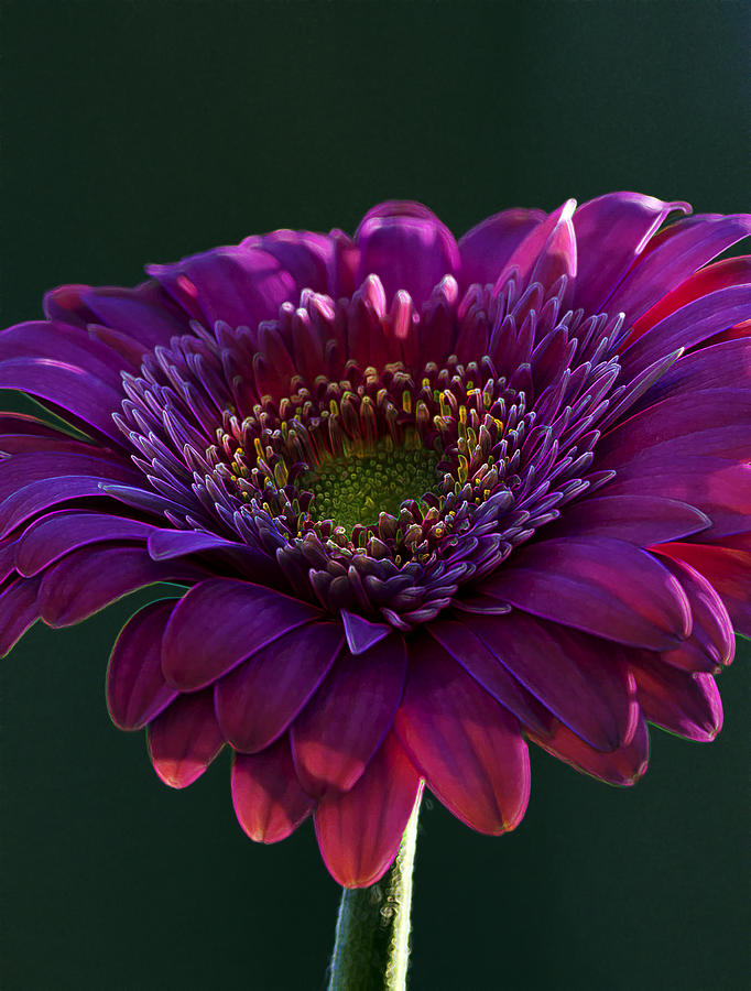 Pink Gerbera Light Photograph  - Pink Gerbera Light Fine Art Print
