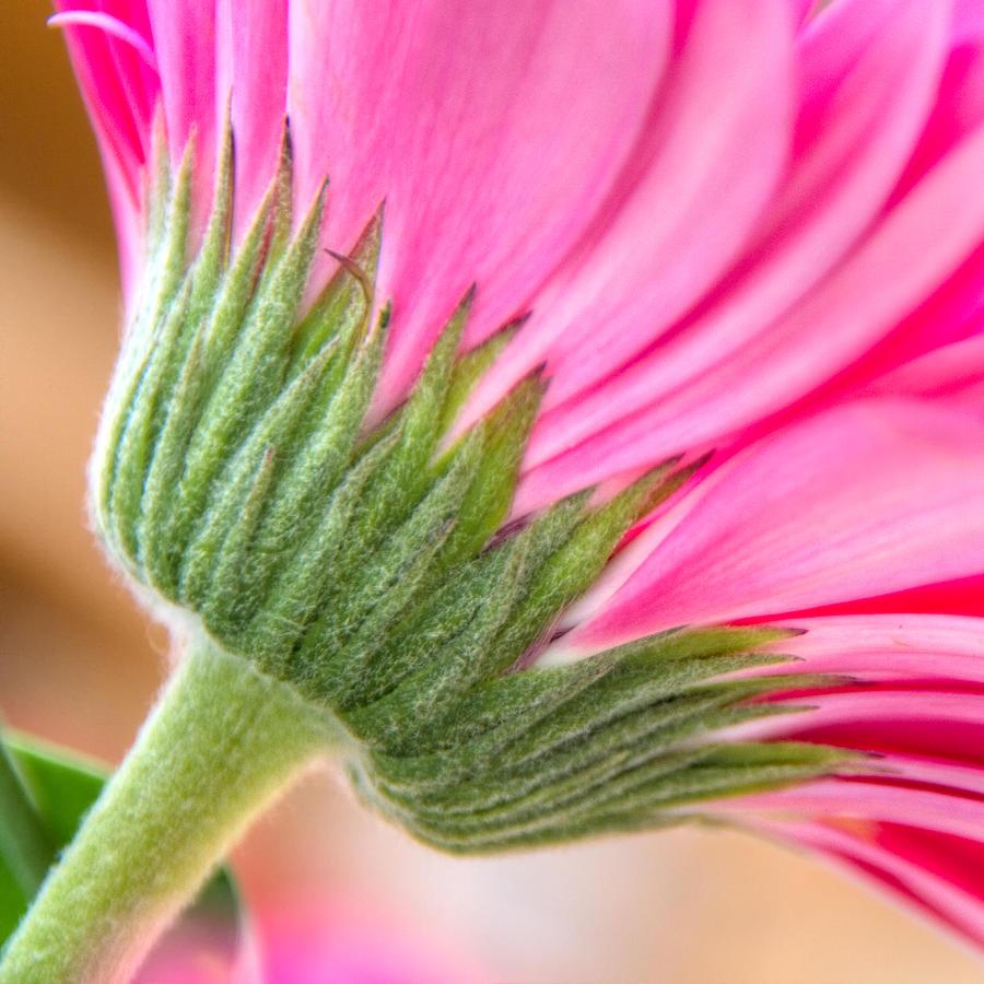 Pink Gerbera Photograph