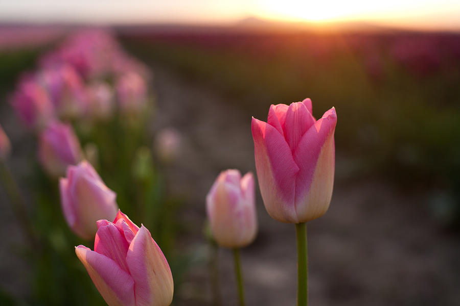 Tulip Photograph - Pink Glory by Mike Reid
