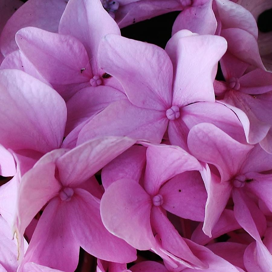 Pink Hydrangea Up Close Photograph