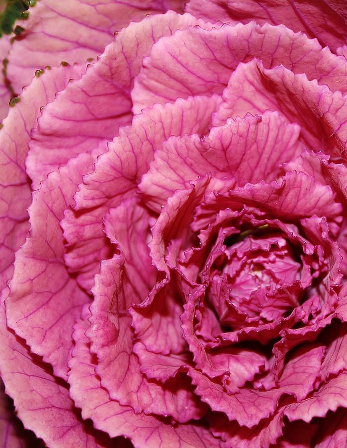 Pink Kale Photograph